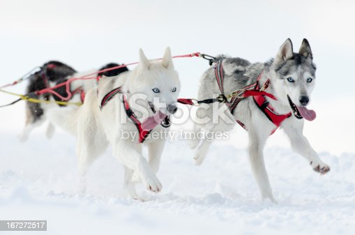 Initial Rating 5/5: Group of sled dogs running in snow. Shallow DOF with selective focus on leading dog on top.