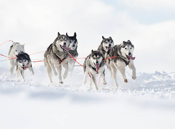 Group of husky sled dogs running in snow stock photo