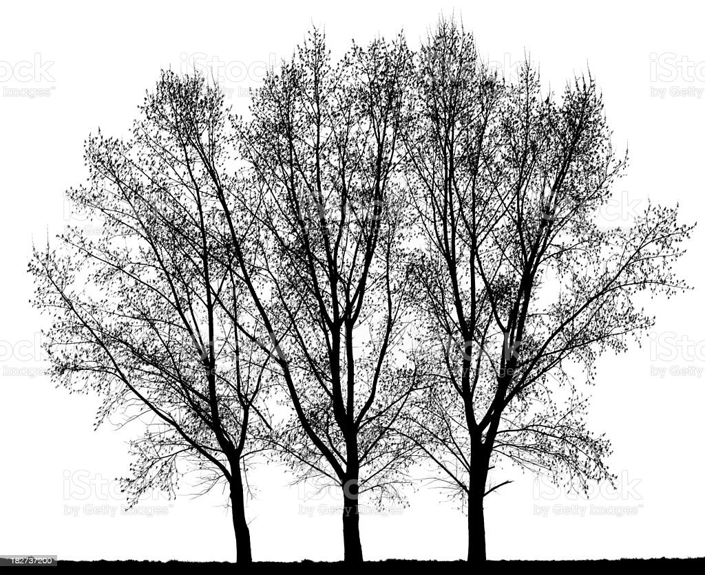 Group of Hybrid Black Poplar (Populus x canadensis) isolated on_white. royalty-free stock photo