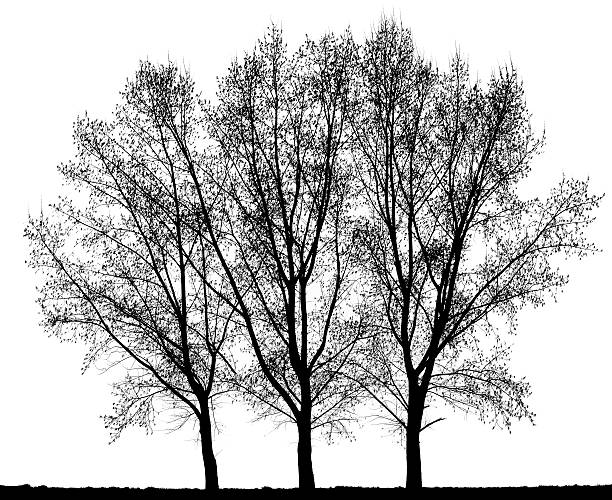 Group of Hybrid Black Poplar (Populus x canadensis) isolated on_white. stock photo