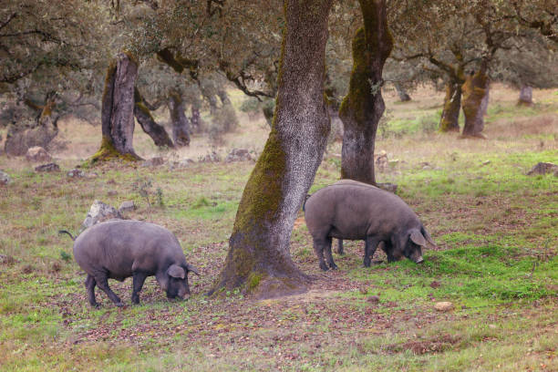 Group of Iberian pig in the meadow, Spain Group of Iberian pig in the meadow in the mountains of Aracena, Huelva, Spain iberian stock pictures, royalty-free photos & images
