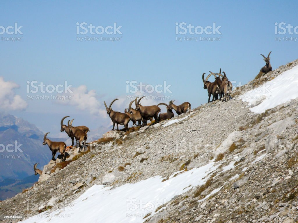 group of ibex