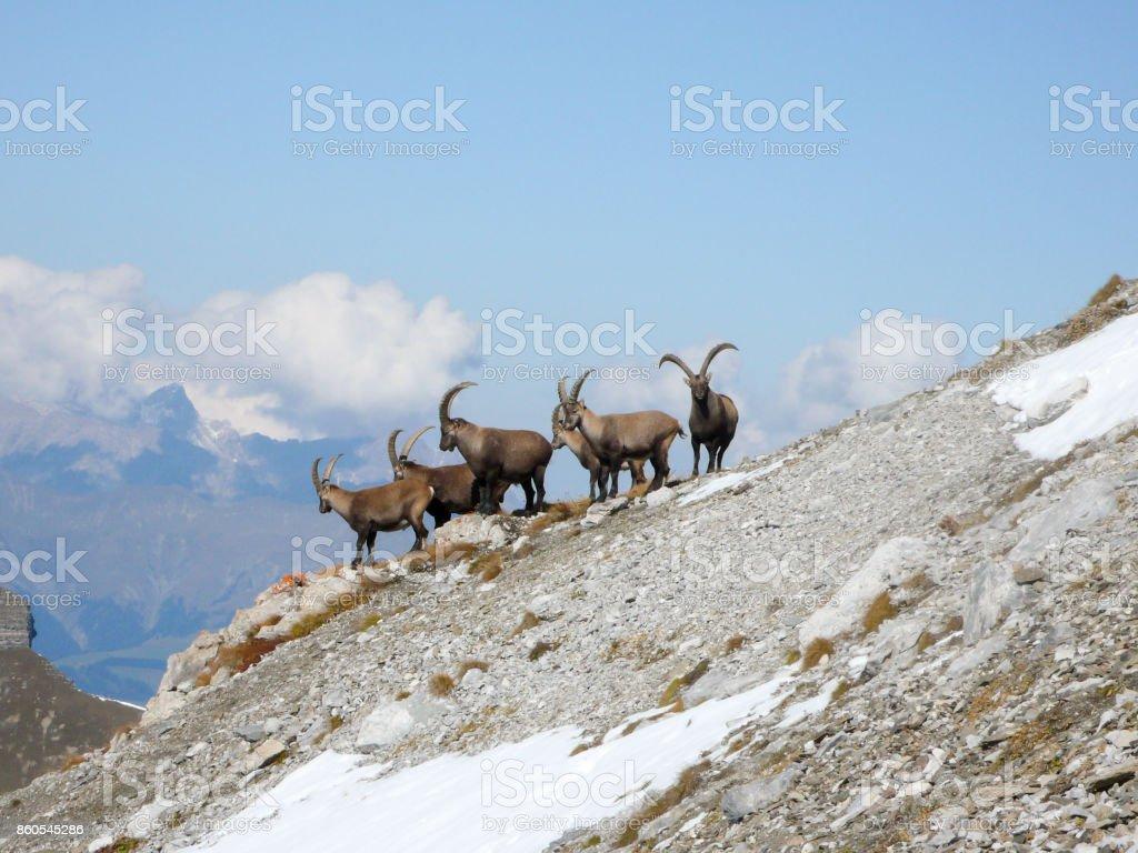 group of ibex stock photo