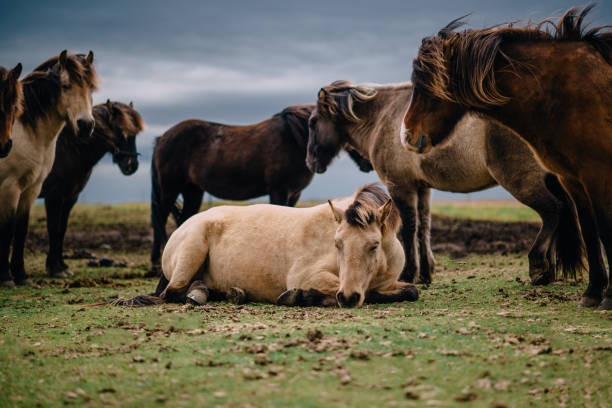 group of Icelandic horses stands in paddock, cloudy day stock photo