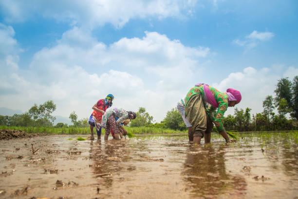 Gruppe indischer Dorfbauern, die in einem Reisfeld arbeiten – Foto