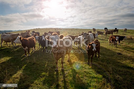 Group of young and older Simmental and Hereford cows and calves looking inquisitively at the camera. Early morning scene as the sun flares into the camera lens with a high angle viewpoint looking down at the cows who are gathering around the camera. Colour, horizontal format  with some copy space in the sky. Photographed in a field on the island of Møn, Denmark.