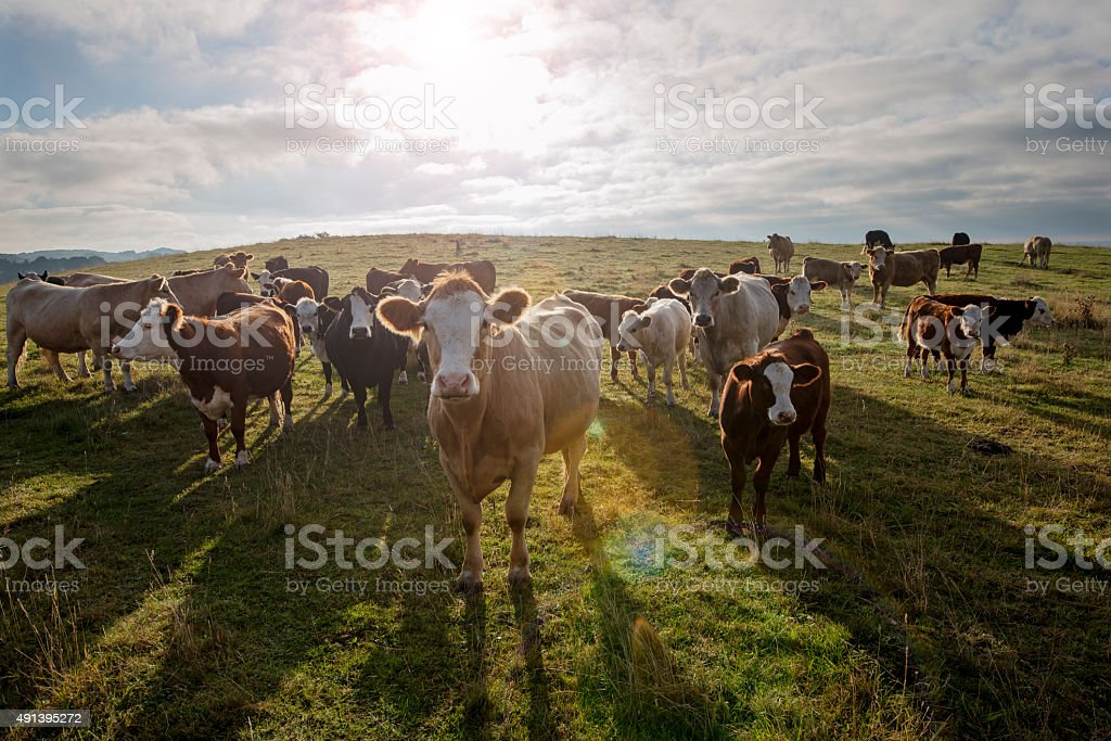 Group of Inquistive Simmental and Hereford Cow's in the Field. stock photo
