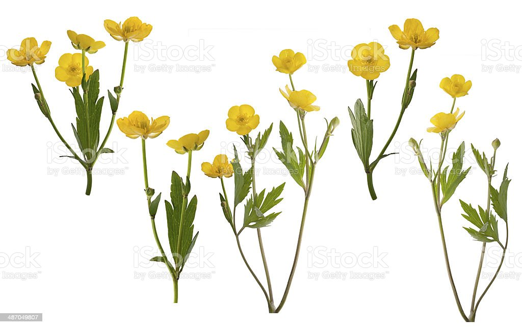 group of isolated yellow buttercup flowers stock photo