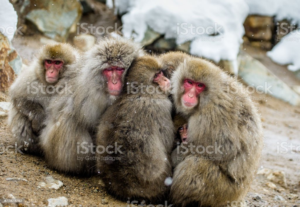 Group of Japanese macaques sitting together on the rocks. Japan....