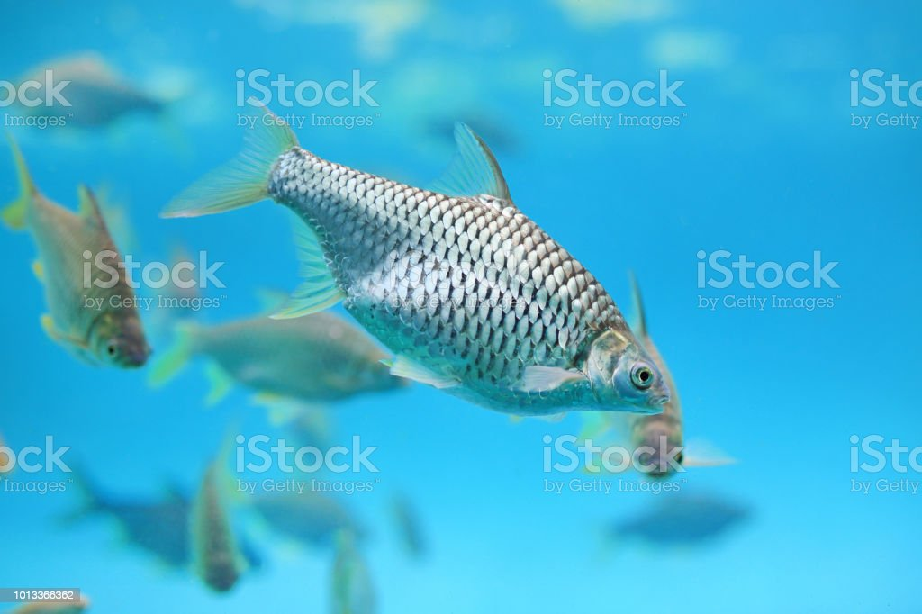 Group of Java barb fish (Barbonymus gonionotus) swimming in aquarium. stock photo