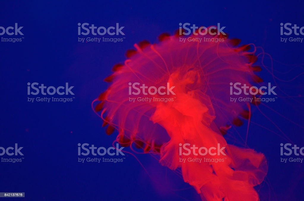 Group of jellyfish stock photo