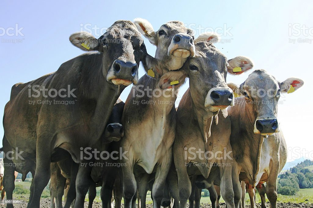 Group of Jersey cows looking curiously at camera stock photo
