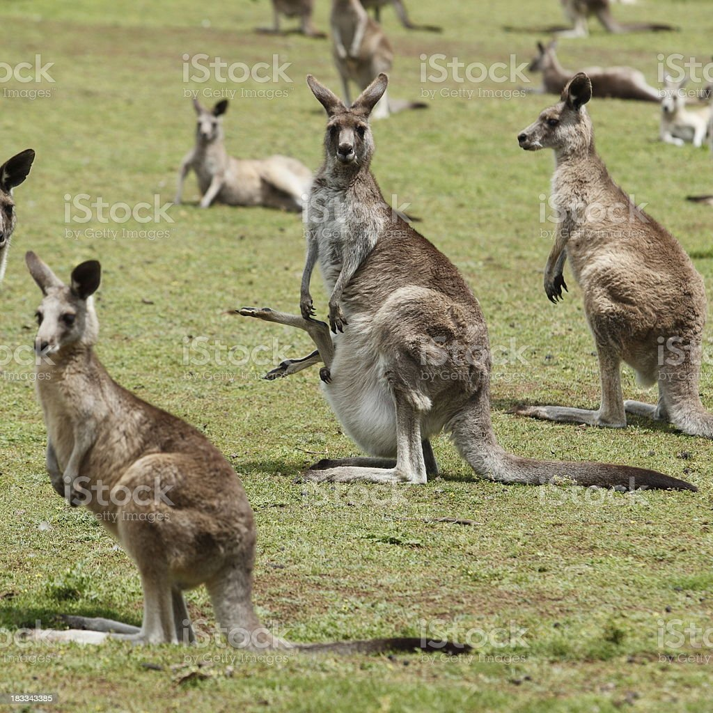Group of Kangaroos royalty-free stock photo