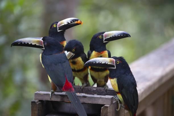 Group of Keel-billed Toucan Birds in Macaw Mountain Wildlife Reserve Copan Honduras stock photo