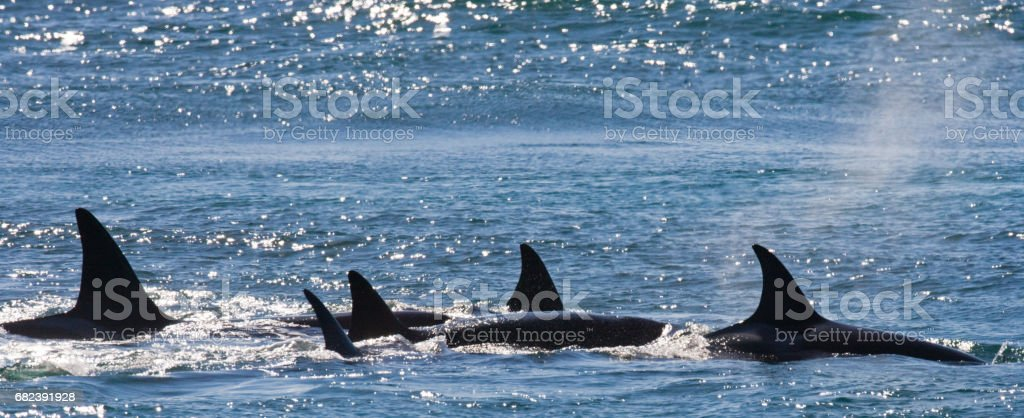 Group of killer whales in the water. royalty-free stock photo