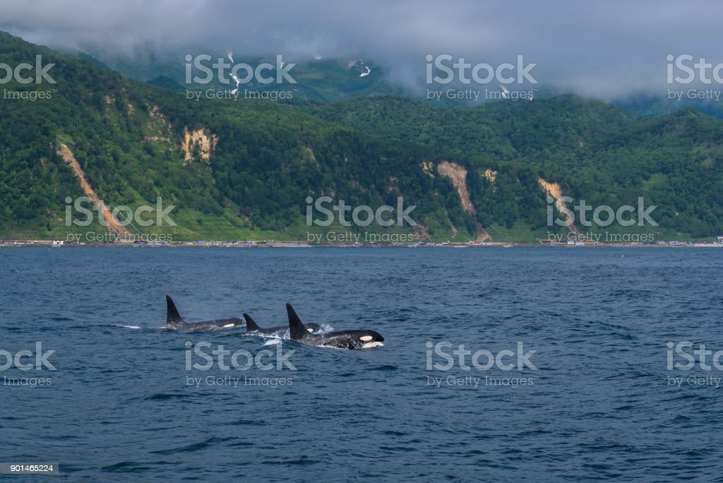 Group of Killer Whales swimming in sea of Okhotsk stock photo