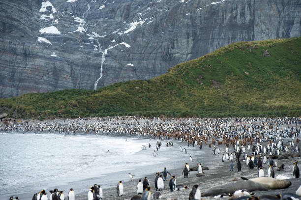 Group of King penguin walk in front of a colony on South Georgia Island stock photo
