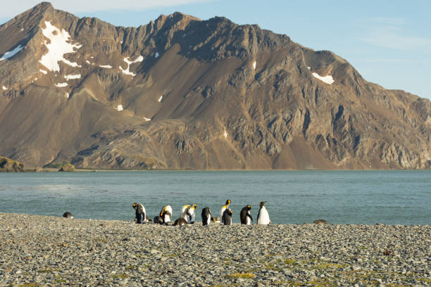 A Group of King Penguins on a Rocky Beach stock photo