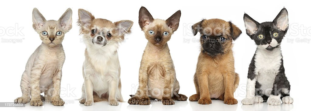 Group of kitten and puppies on a white background royalty-free stock photo