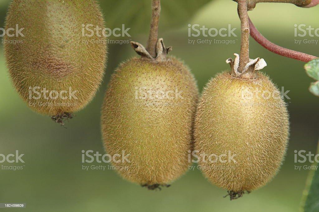 Group of kiwifruit on the vine royalty-free stock photo