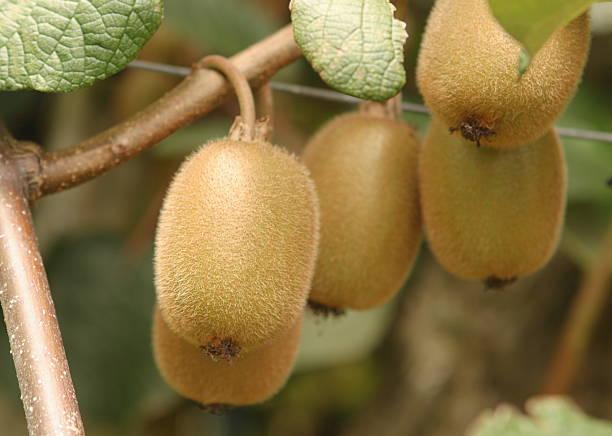 Group of kiwifruit on the vine