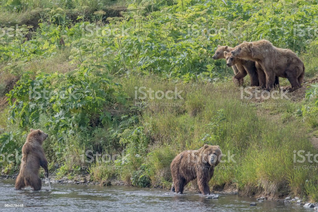 A group of Kodiak Bear on Kodiak Island, Alaska royalty-free stock photo