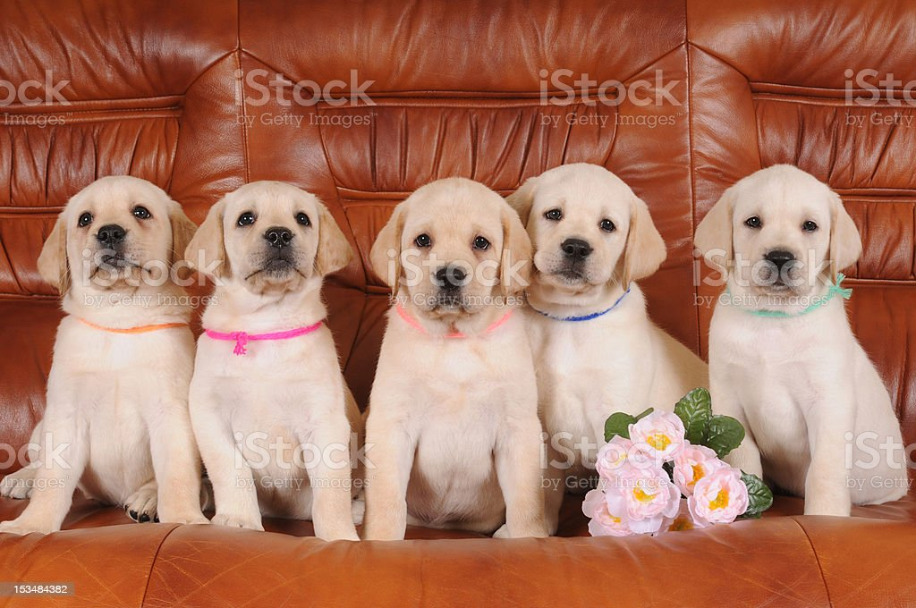 Group of labrador puppies royalty-free stock photo