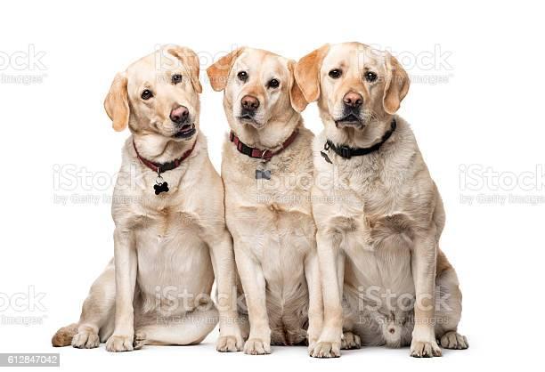 Group of labrador retriever dogs sitting isolated on white picture id612847042?b=1&k=6&m=612847042&s=612x612&h=r7jz7ehauxwfxhbr s87ceinohxb pakjvzuxgyk6lu=