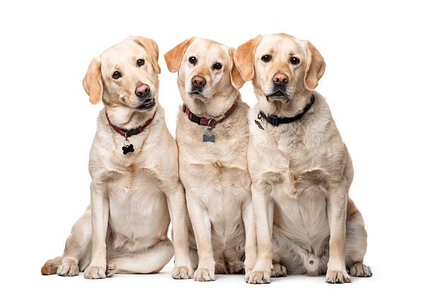 Group of labrador retriever dogs sitting isolated on white picture id612847042?b=1&k=6&m=612847042&s=612x612&w=0&h=mm8gxfwpis 29scel7qnhfxazevvnl3vzh gnoarnb0=