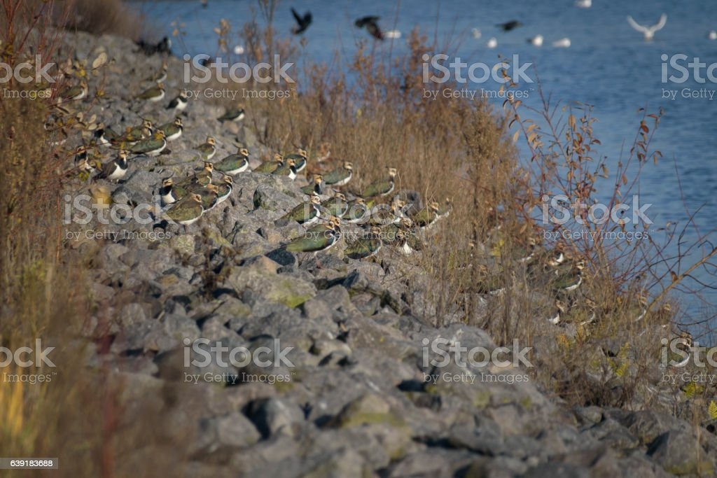 Group of lapwings resting on stone dam before taking off stock photo