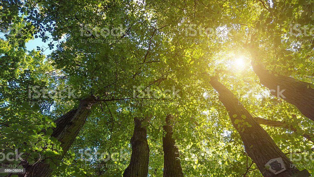 group of large basswood trees in sunlight Lizenzfreies stock-foto
