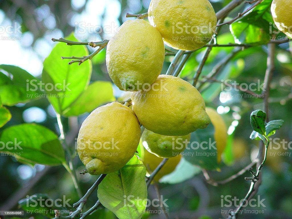 Group Of Lemons On A Tree royalty-free stock photo