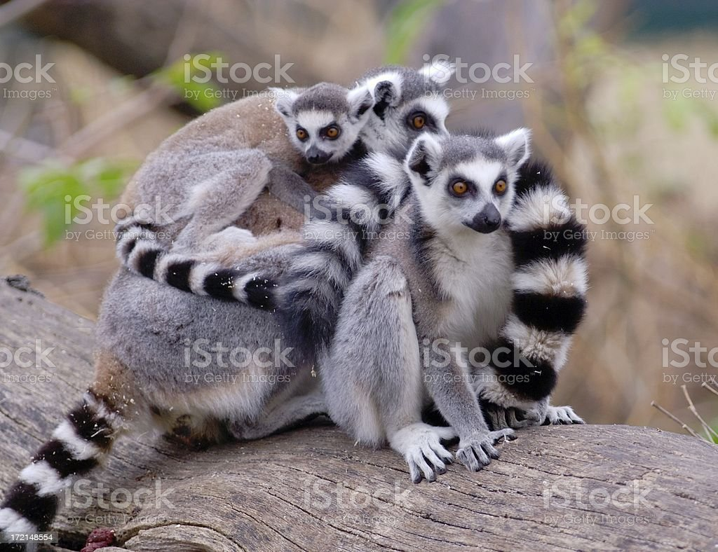 group of lemurs stock photo