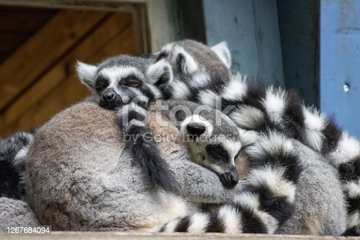 a group of lemurs sits snuggled up close to each other