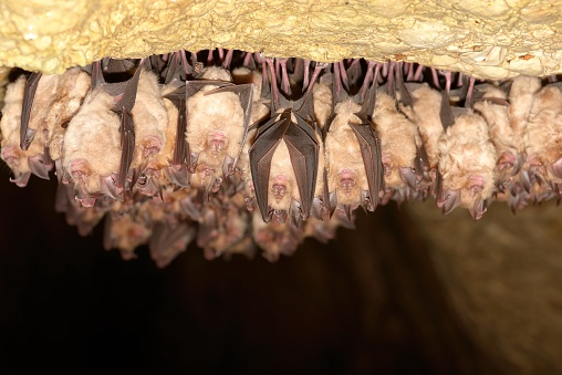 Group Of Lesser Horseshoe Bat Stock Photo - Download Image Now