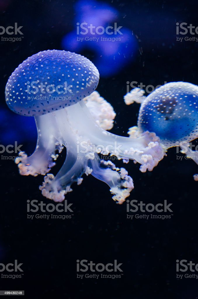 Group of light blue jellyfish. stock photo