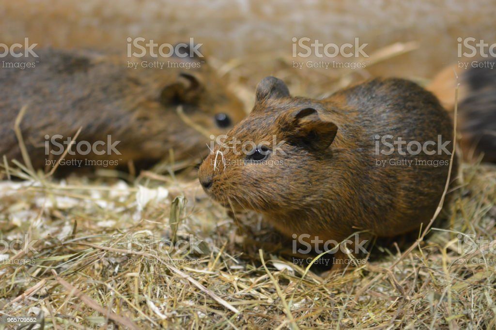 Group of little guinea pigs stock photo