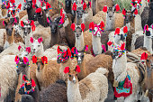 Group of llamas parading during the Palm Sunday of Easter at Ayacucho, the capital city of the Huamanga Province, Peru.\nThe llamas are beautifully harnessed with multicolored ribbons and provided with bells around their necks. \nAyacucho is the \