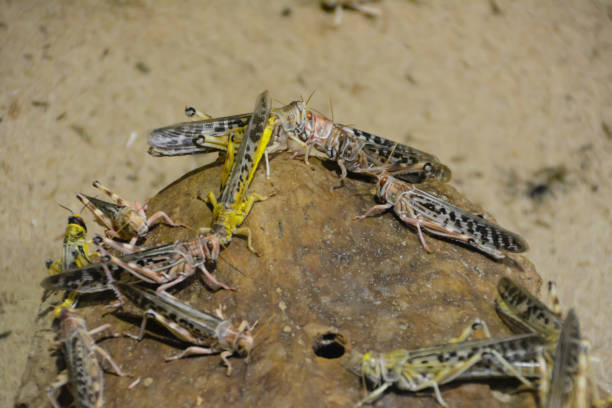 een groep van sprinkhanen opgestapeld in de buurt van hun huis. - locust swarm stockfoto's en -beelden