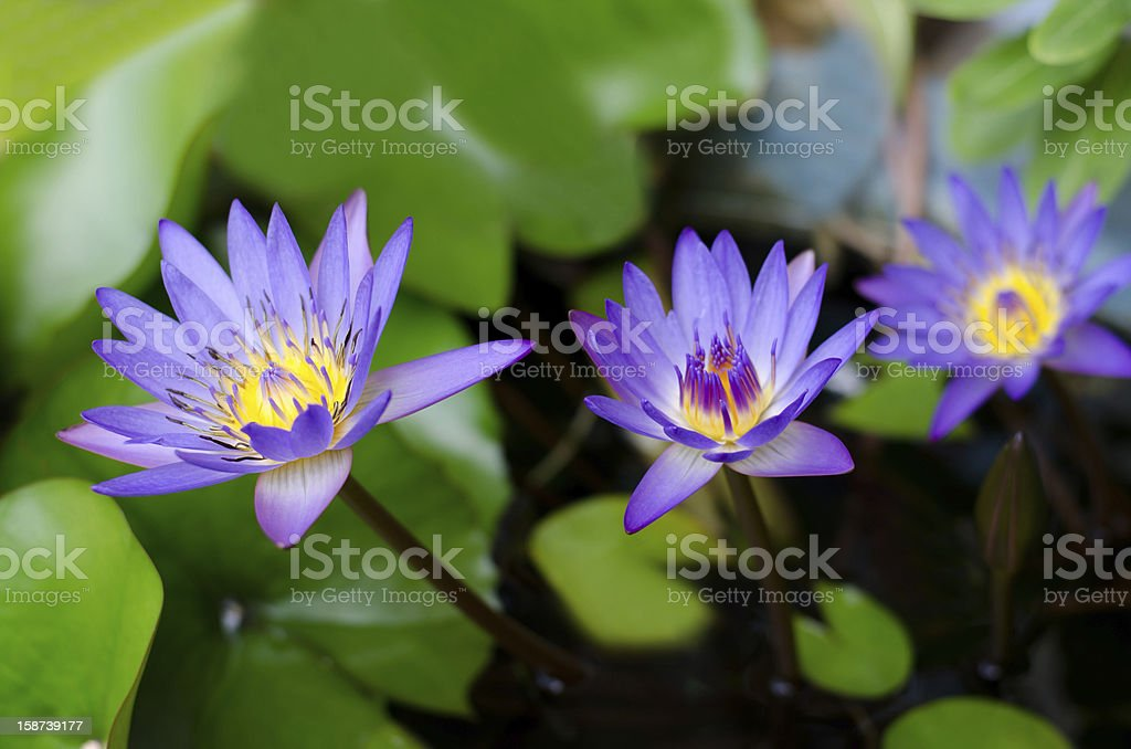 Group of  Lotus Flowers (Egyptian Blue Lotus) royalty-free stock photo