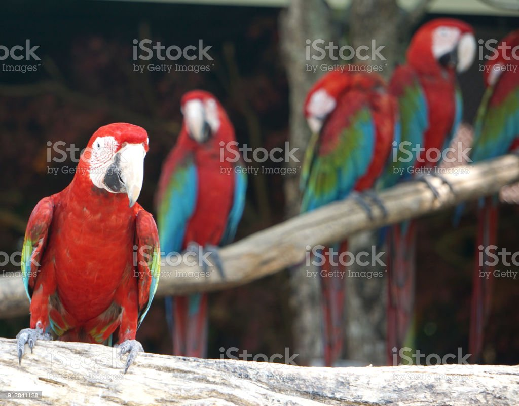 Group of macaws bird on tree. stock photo