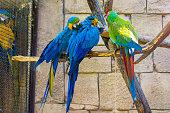 Sun parakeet, Aratinga solstitialis, parrots, Sun Conure. sitting on the sand and eating
