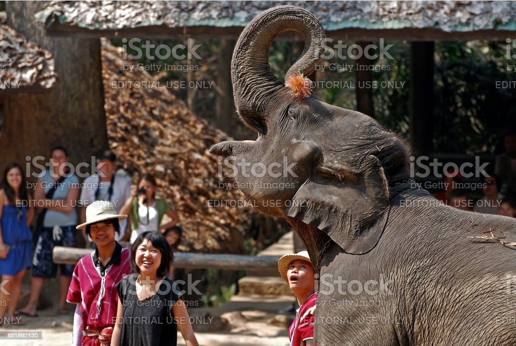 A group of mahouts and a tourist watch elephant perform stock photo