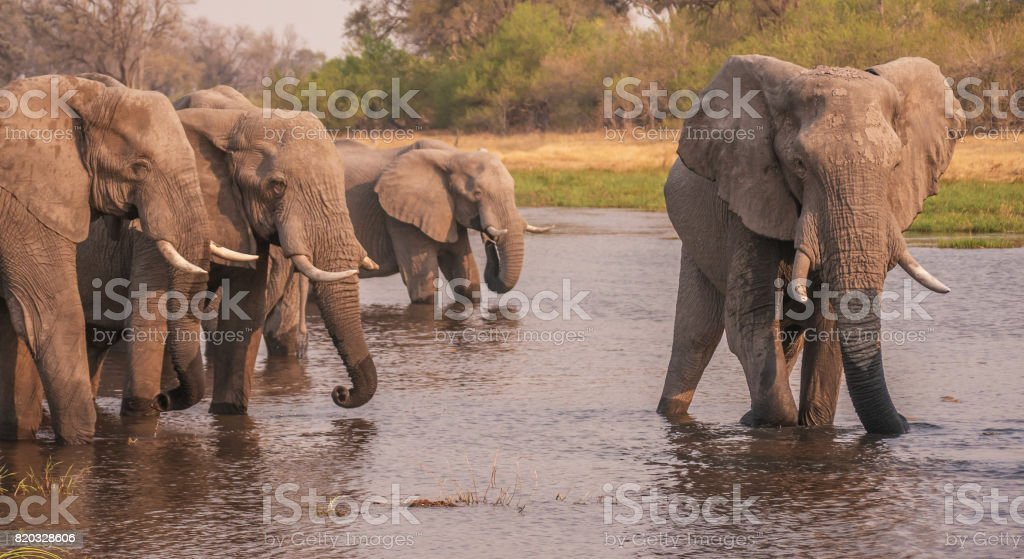 Group of male African elephants drinking water and cooling down after a hot day, the Khwai River, Botswana. stock photo