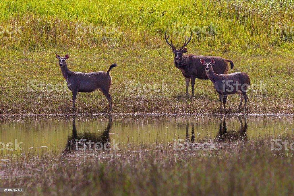 Group of Male and Female Sambar deer stock photo