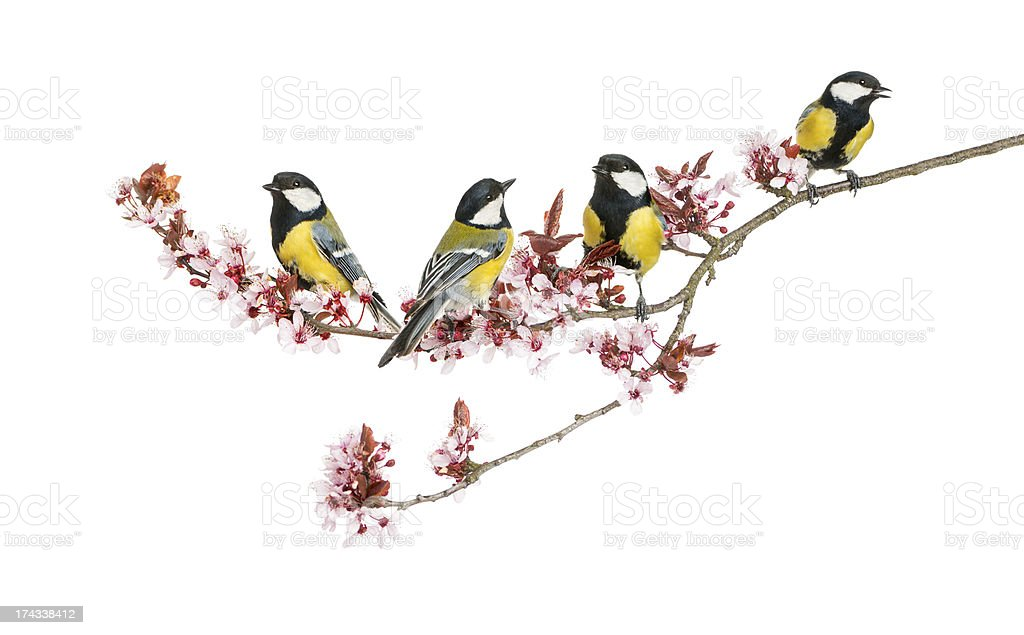 Group of Male great tits, Parus major, isolated on white​​​ foto