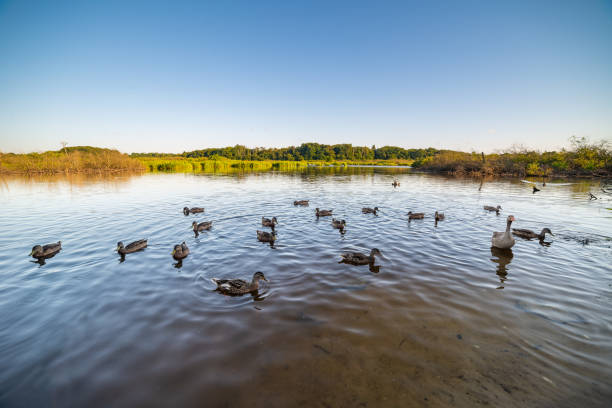 group of mallard ducks group of mallard ducks in river - landscape water bird stock pictures, royalty-free photos & images
