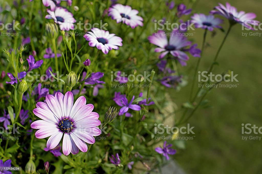 Group of Marguerite Daisies among other summer flowers royalty-free stock photo