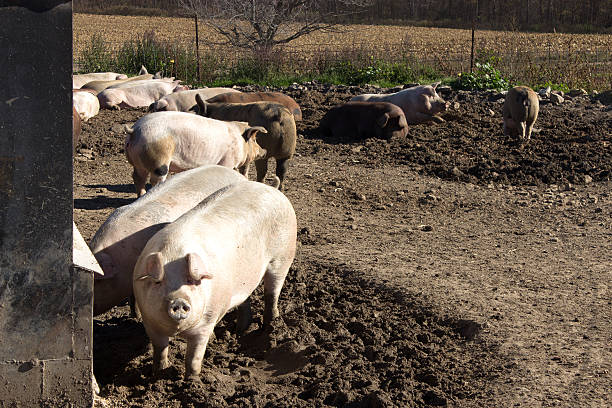 Group of mature hogs stock photo