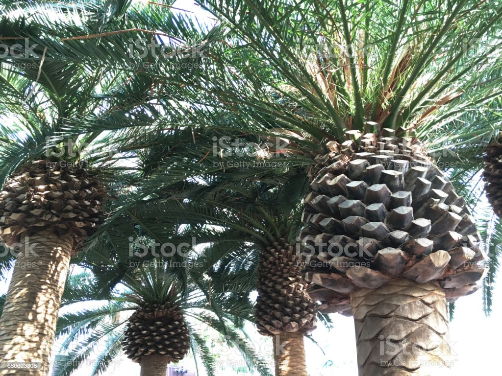 Group of Mediterranean Palm Tree Closeup. royalty-free stock photo